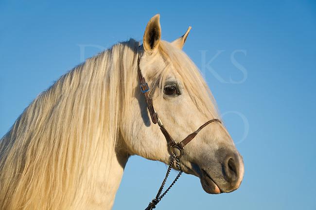 White horse head shot, Arabian stallion taken in the last golden light of day, Pennsylvania, USA.