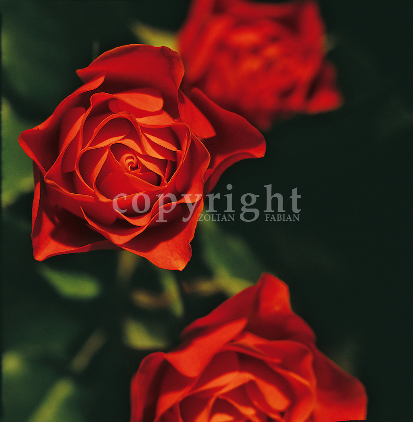 Three flowerheads of red roses (only one is sharp) with similar green (unsharp) background