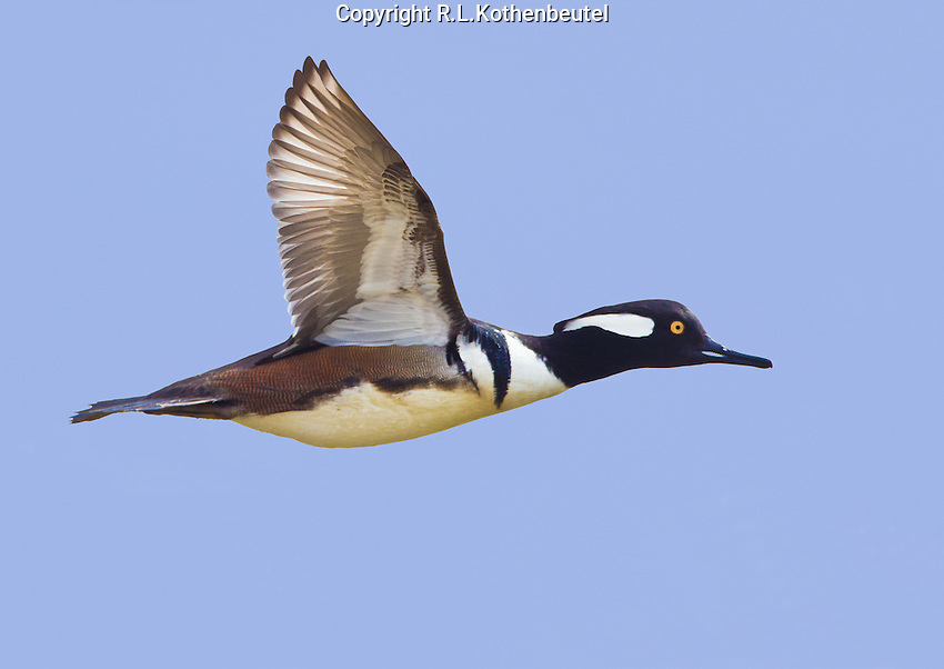 Hooded merganser (Lophodytes cucullatus) Adult male (drake) in flight against a blue sky.<br />