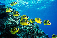 Racoon butterfly fish swim near the reefs of Hanauma Bay, snorkelers paradise