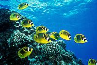 Racoon butterfly fish swim near the reefs of Hanauma Bay, snorkelers paradise