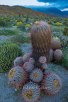 Barrel Cactus, Glorietta Canyon, Anza-Borrego Desert State Park, California