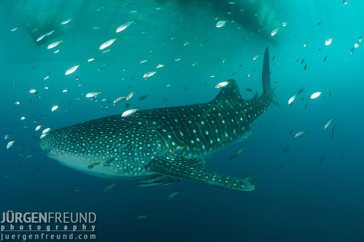 """Whale shark near a fishing device called """"Bagan"""". Bagans are large stationary anchored ourigger boats that have a net spanning from outrigger to outrigger. At night these nets are lowered to some 15 m or so and strong electric lights are switched on to attract anchovies and scads. After a few hours the lights are switched off and the nets lifted with the fish trapped inside. The whale sharks are in turn attracted by the unused fish that is discarded in the morning."""