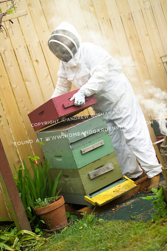 """A backyard beekeeper in Seattle, WA is fully dressed in a protective suit, mask, and gloves and is beginning the process of collecting honey by """"smoking the hive"""".  Smoke calms bees by activating a feeding response in anticipation of fleeing the hive due to fire."""