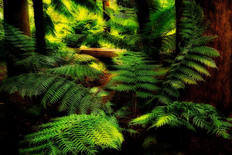 Australian Soft Tree Fern (Dicksonia antarctica). Trengwidden Gardens, England, Cornwall