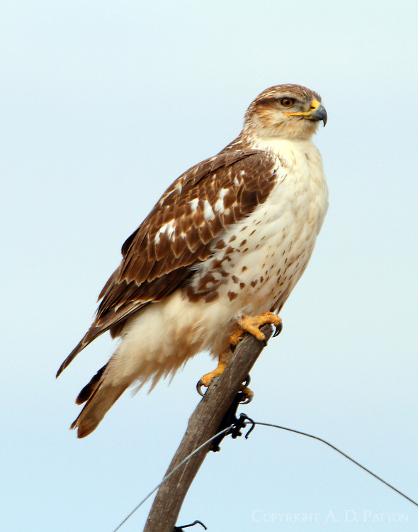 Juvenile light-morph ferruginous hawk