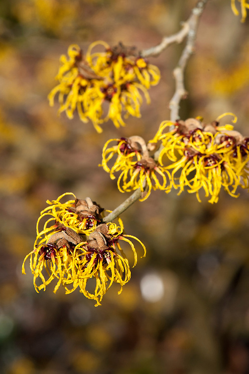 Chinese witch hazel (Hamamelis mollis 'Nymans'), end January.