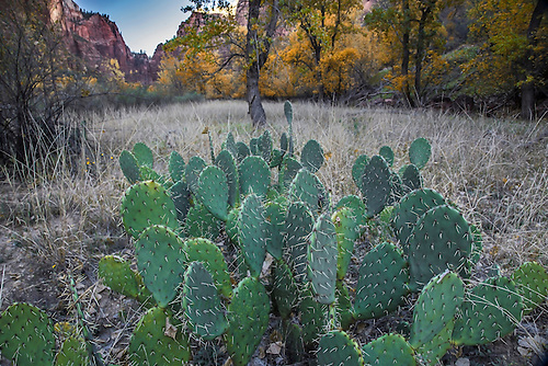Cactus during the fall season at Zion National Park, Utah