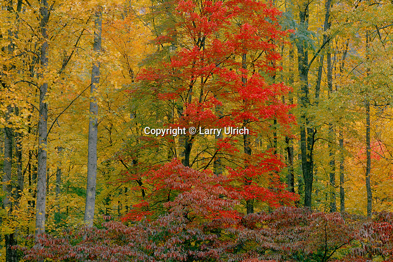 Red maple and flowering dogwood<br /> Oconaluftee River Valley<br /> Great Smoky Mountains National Park<br /> North Carolina