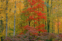 Red maple and flowering dogwood<br />