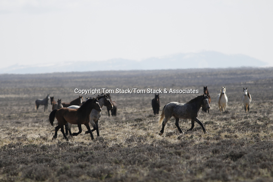 Rare, elusive wild horses in the Red Desert of Wyoming