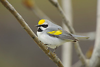 Adult male Golden-winged Warbler (Vermivora chrysoptera) in breeding plumage. St. Lawrence County, New York. May
