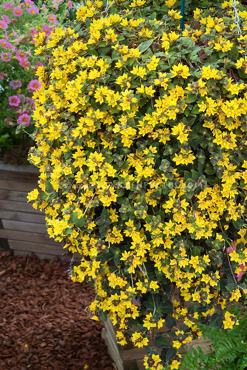 Lysimachia midnight sun in hanging basket plant flower stock lysimachia midnight sun trailing annual plant in yellow flowers in pot container mightylinksfo