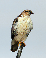 Juvenile light-morph ferruginous hawk