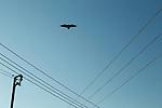 Fan-tailed Raven (Corvus rhipidurus) flying over powerlines, Salalah, Oman