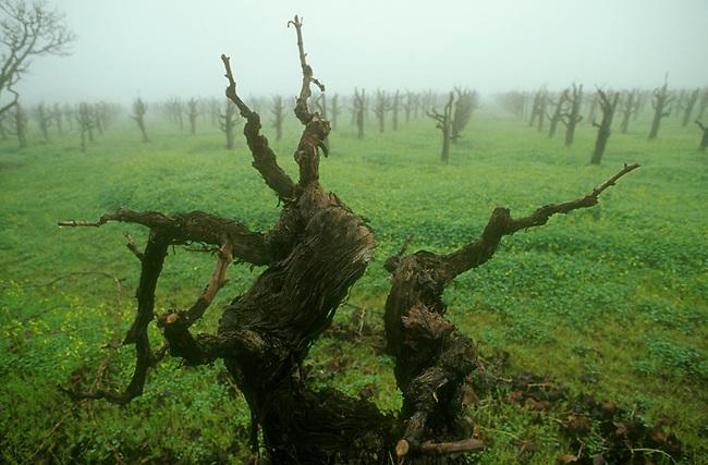 Old vine in Saint Helena vineyard