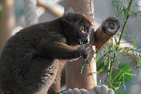 Greater bamboo lemur (Prolemur simus) eating bamboo leaves, in the Madagascar zone of the Great Glasshouse of the new Parc Zoologique de Paris or Zoo de Vincennes, (Zoological Gardens of Paris or Vincennes Zoo), which reopened April 2014, part of the Musee National d'Histoire Naturelle (National Museum of Natural History), 12th arrondissement, Paris, France. Picture taken November 2013 by Manuel Cohen