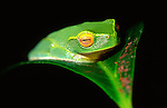Dainty Green Tree Frog, Litoria gracilenta, Queensland