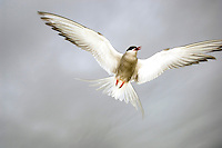 Arctic tern in the air