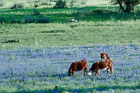 Cattle grazing in a field of Bue Bonnets in the Texas Hill Country near Fredericksburg.