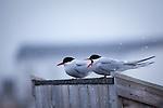 Arctic Terns, sterna paradisea, Ny Alesund