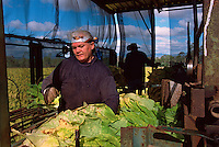 Josie Di Maggio (front) and David Adil Harvesting Tobacco, Adil's Farm, Mareeba, 2003.