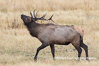 01980-02818 028.18 Elk (Cervus elaphaus) bull male bugling, Yellowstone National Park, WY