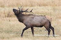 01980-02818 028.18 Elk (Cervus elaphaus) bull male bugling, Yellowstone National Park, WY