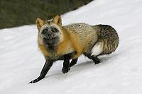Cross fox standing on a snowy hill side - CA