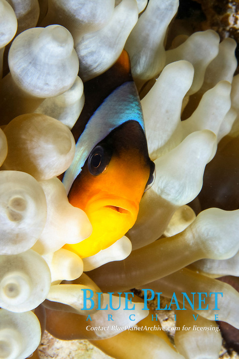 Red sea anemonefish, Amphiprion bicinctus, in giant anemone, Heteractis magnifica, Red sea, Egypt, Hurghada.