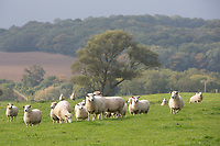 Romney ewes on the farm<br /> Picture Tim Scrivener 07850 303986<br /> tim@agriphoto.com<br /> &hellip;.covering agriculture in the UK&hellip;.