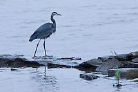 Great Blue Heron hunting on the Potomac River, Washington D.C.