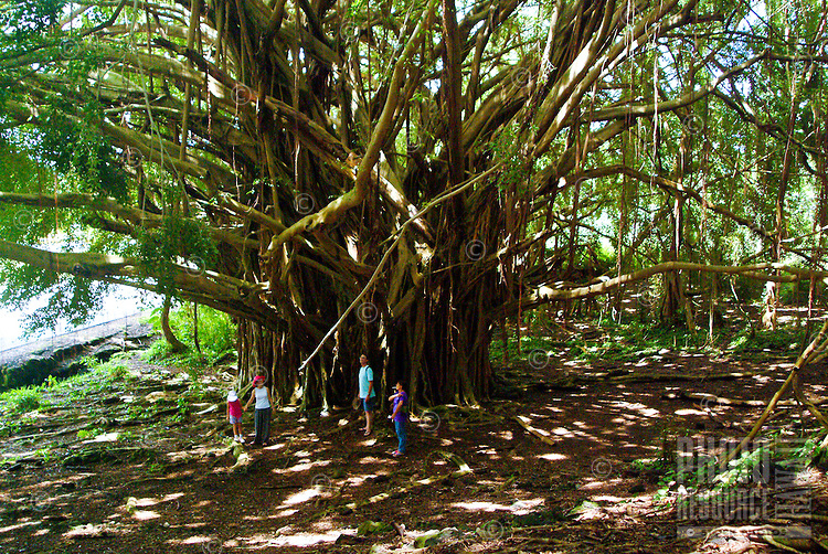 Very large banyan tree near Anuenue falls in Hilo. Latin name: Ficus benghalensis
