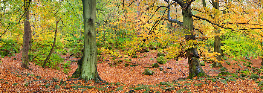 Beech woodland (Fagus sylvatica) in autumn, Peak District National Park, Derbyshire, UK, October. Stitched Panorama.