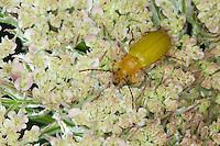Schwefelkäfer, Schwefel-Käfer, Blütenbesuch, Cteniopus flavus, sulphur beetle, Pflanzenkäfer, Alleculinae