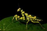 Banded Flower Mantis (Theopropus elegans) female, Sepilok, Sabah, Borneo, Malaysia