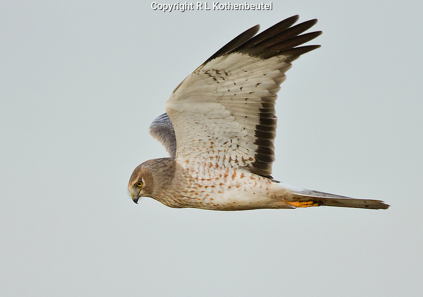 Northern harrier male cruising the marsh in search of prey.<br /> Boundary Bay near Ladner, British Columbia, Canada<br /> 2/1/2013
