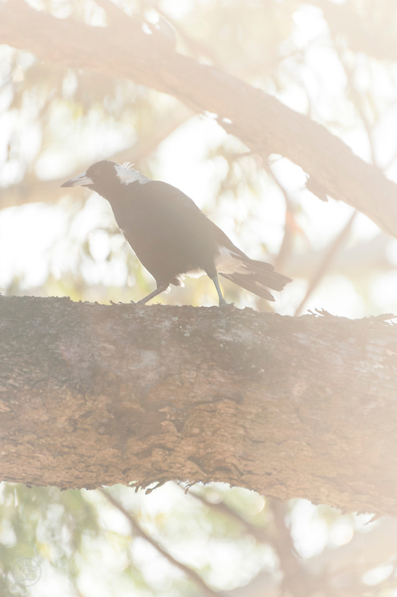 An Australian magpie is lit by golden afternoon light near Adelaide, Australia.
