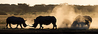 Two play fighting rhinoceroses cover two others in a cloud of dust.