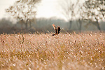 A harrier hawk hunts a grassy field adorned with spider webs.