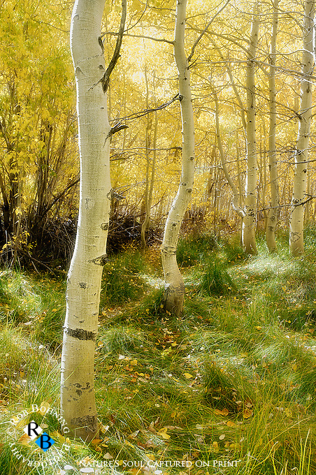 Deep in the aspen grove at the far western edge of Convict Lake, Mono County