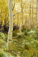 Deep in the aspen grove at the far western edge of Convict Lake, Mono County