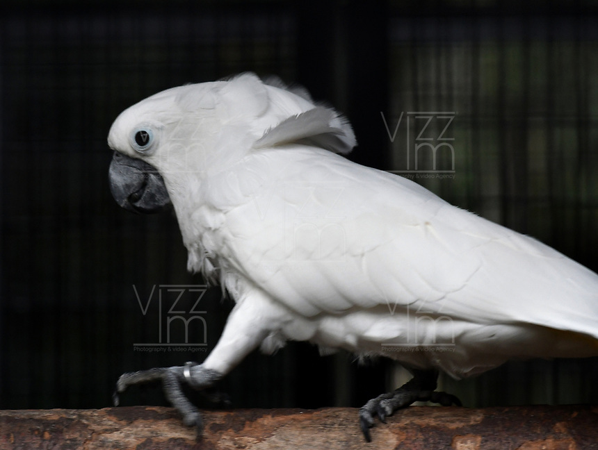 CALI - COLOMBIA - 27 - 09 - 2017: Cacatua Creatada (Cacatua Alba), especie de ave en el Zoologico de Cali, en el Departamento del Valle del Cauca. / Cacatua Creatada (Cacatua Alba), a bird species at the Cali Zoo, in the Department of Valle del Cauca. / Photo: VizzorImage / Luis Ramirez / Staff.