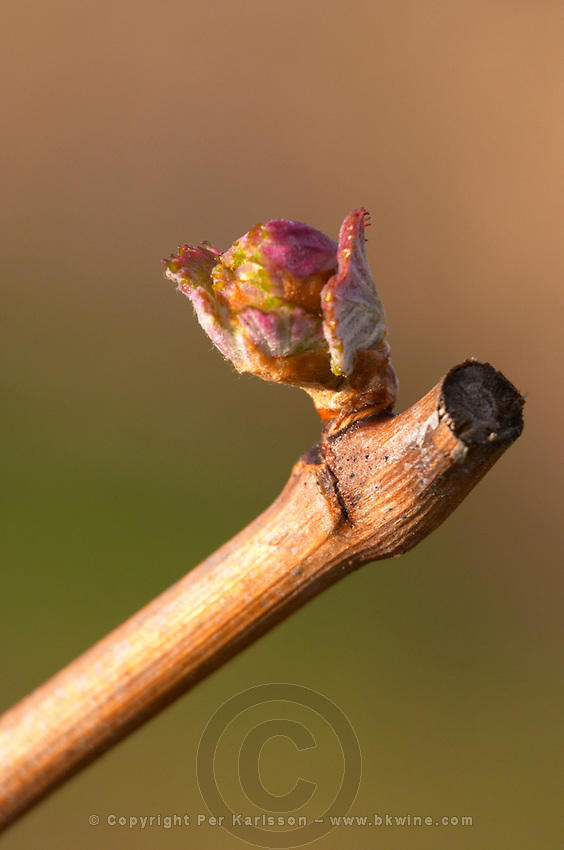 buds on the vine bud burst on the vine chateau pey la tour bordeaux france