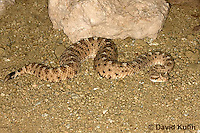 1120-0804  Sidewinder Rattlesnake (Horned Rattlesnake), Crotalus cerastes © David Kuhn/Dwight Kuhn Photography