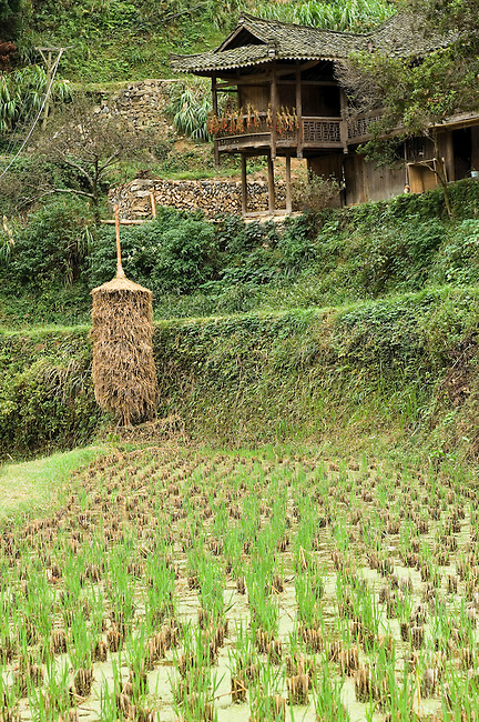 Dried rice stalks are stacked around poles, China