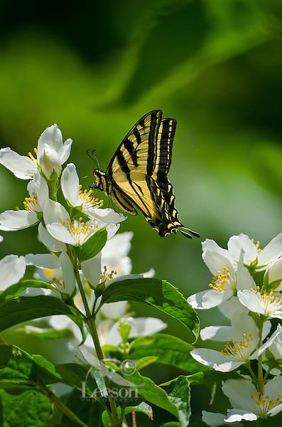 Western Tiger Swallowtail (Papilio rutulus) nectaring on mock-orange flower.  Pacific Northwest.  Summer