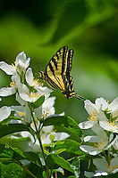 Western Tiger Swallowtail (Papilio rutulus) nectaring on mock-orange flower.  Pacific Northwest.  Summer