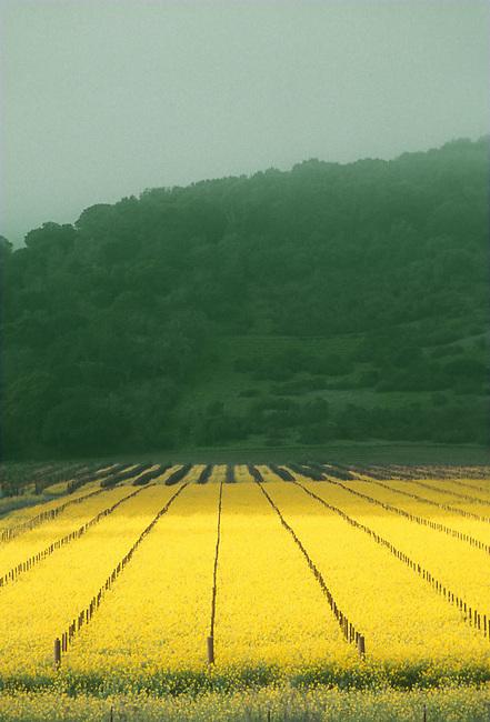 Mustard grows in vineyard near Yountville, california