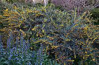 Acacia flowering shrub in Arlington Garden, Pasadena
